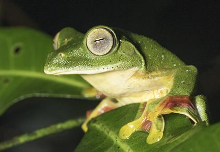 Malabar Gliding frog Rahul Alvares