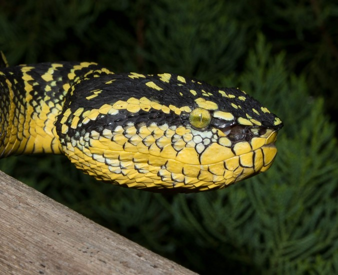 anaconda research paper This anaconda is a large yellow water snake with black spots yellow anacondas  are smaller than green anacondas.