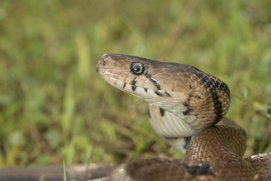 Montane trinket snake Rahul Alvares