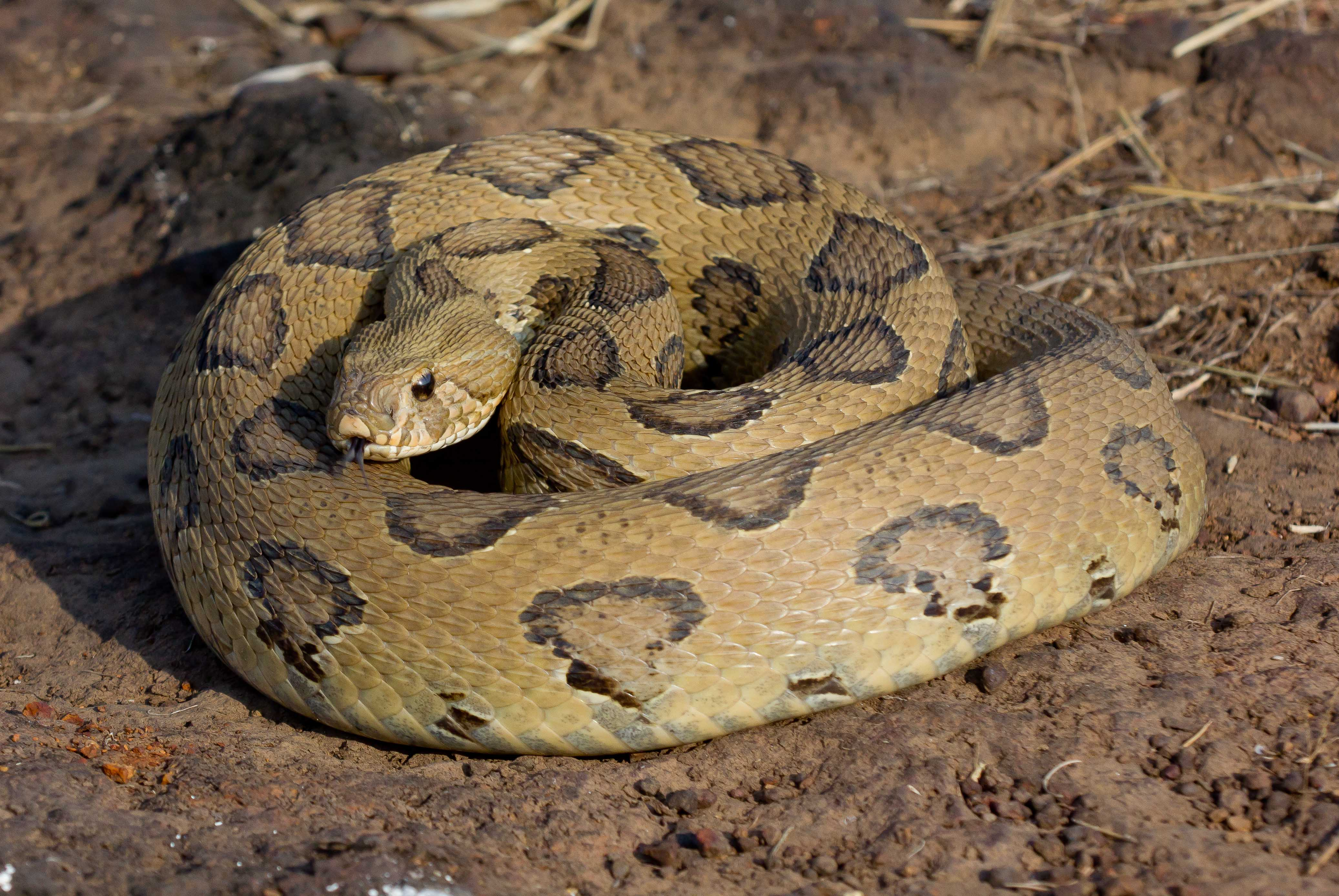 Image result for russell viper