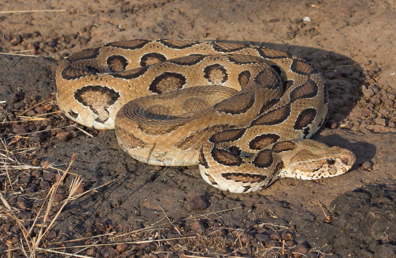 Viper Snake Strike Russell's viper goa