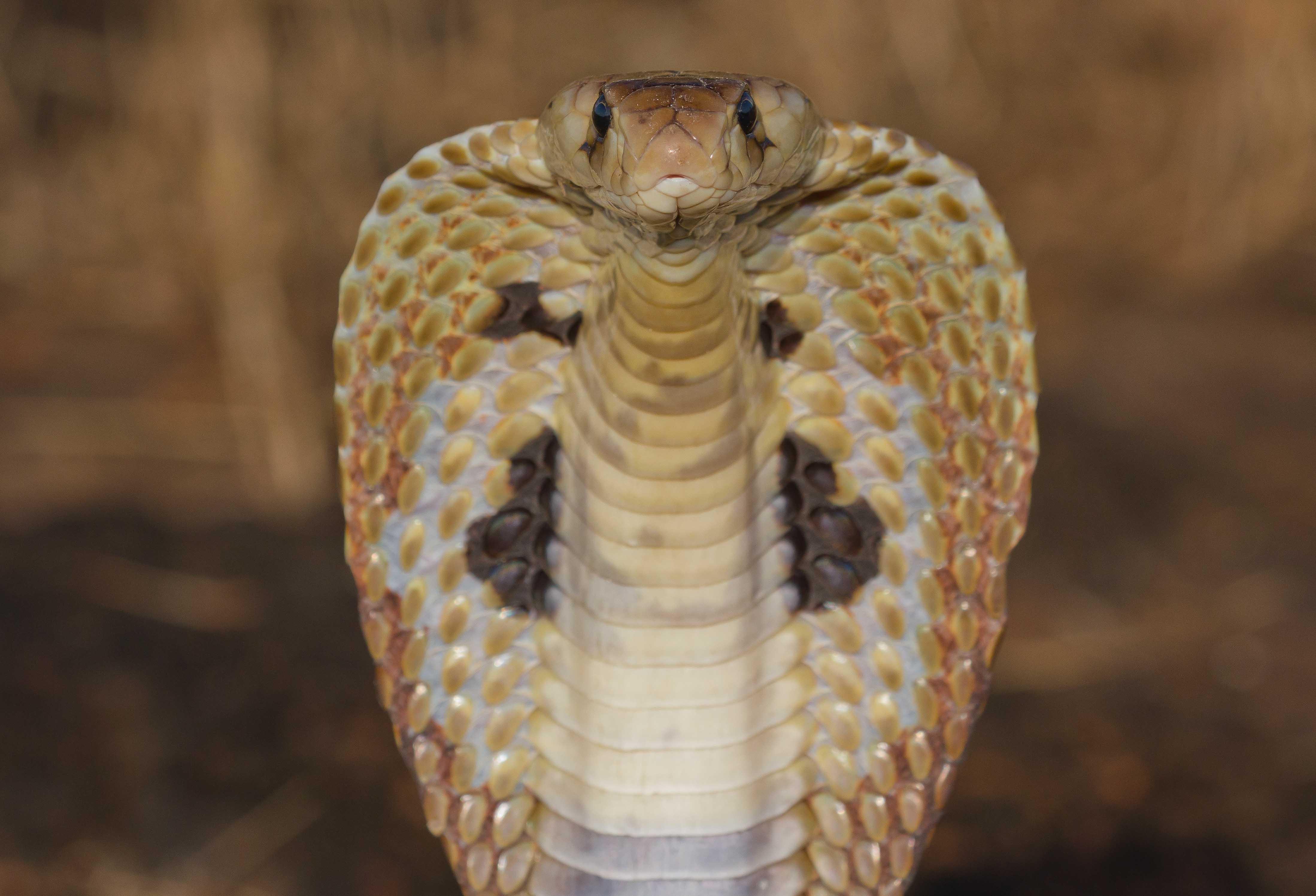 Spectacled cobra goa