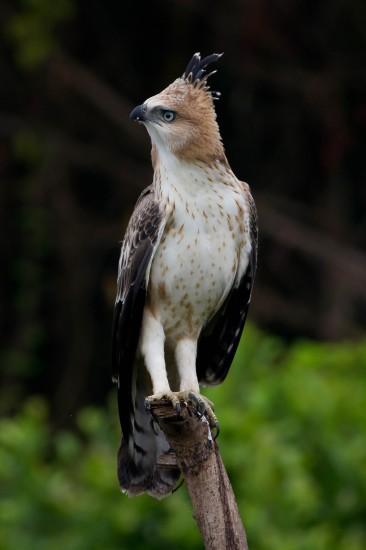 Crested hawk eagle juvenile (16)-2