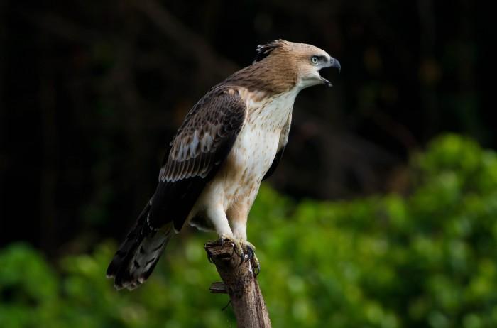 Crested hawk eagle juvenile (23)-2