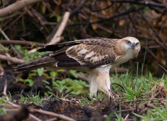 Crested hawk eagle socorro goa