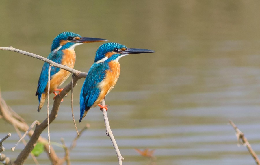 Common Kingfisher Goa