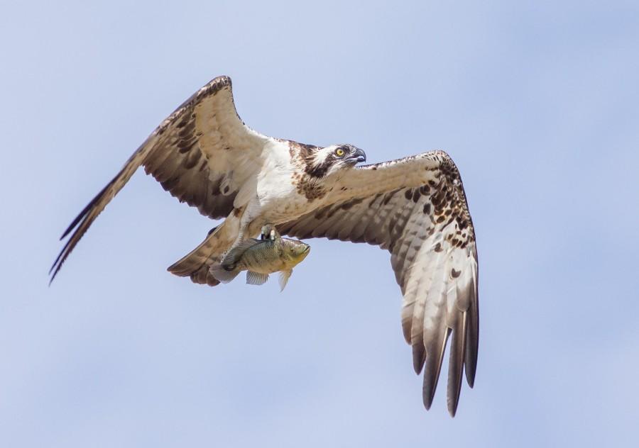 Osprey Goa