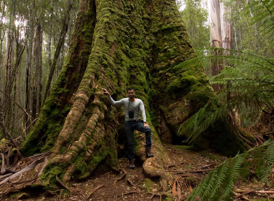 Giant eucalyptus Tasmania