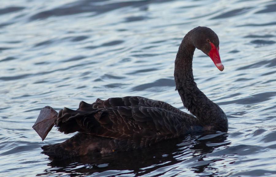 Black Swan Tasmania
