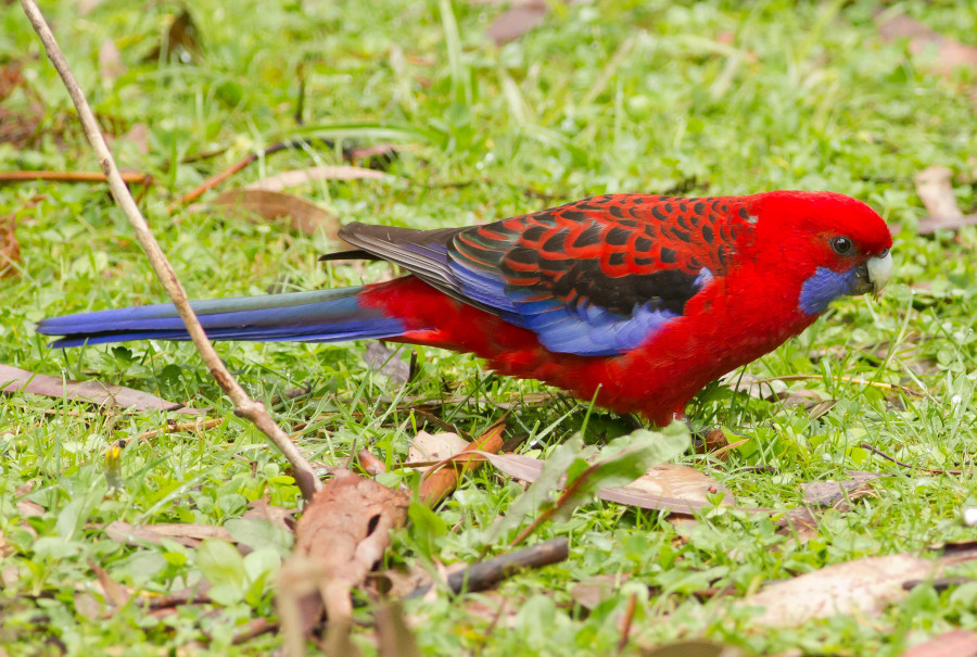 Red Rosella melbourne