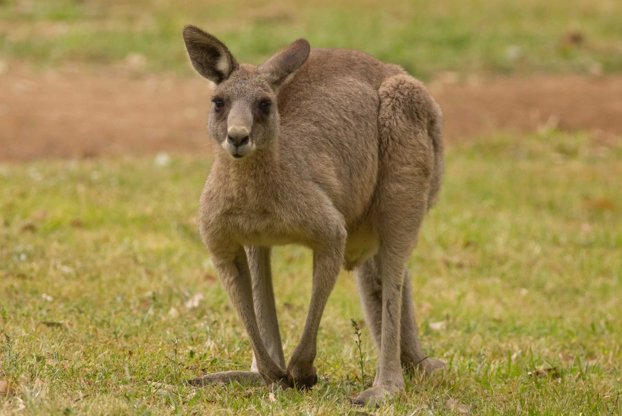 Grey Kangaroo in the Blue Mountains