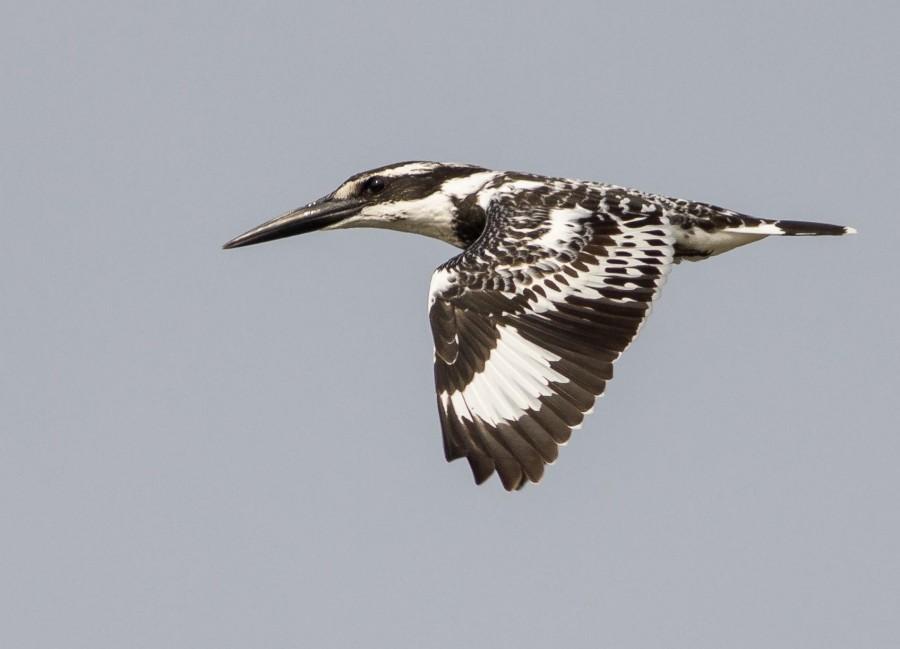Pied Kingfishers Goa