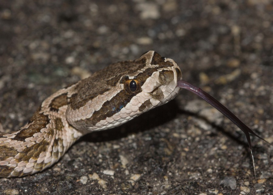 South Pacific rattlesnake