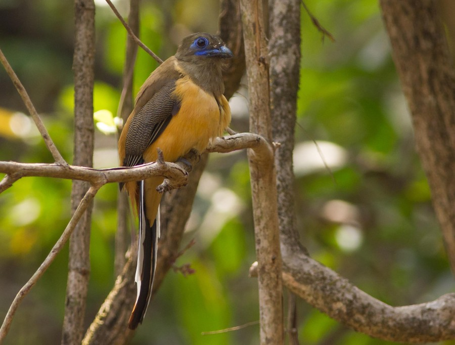 Malabar trogon female