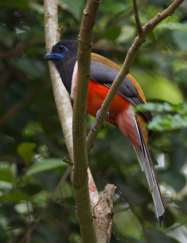 Malabar Trogon Male