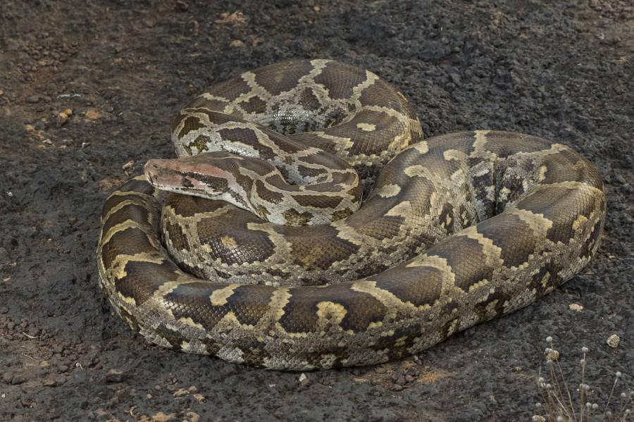 Indian rock python Rahul Alvares