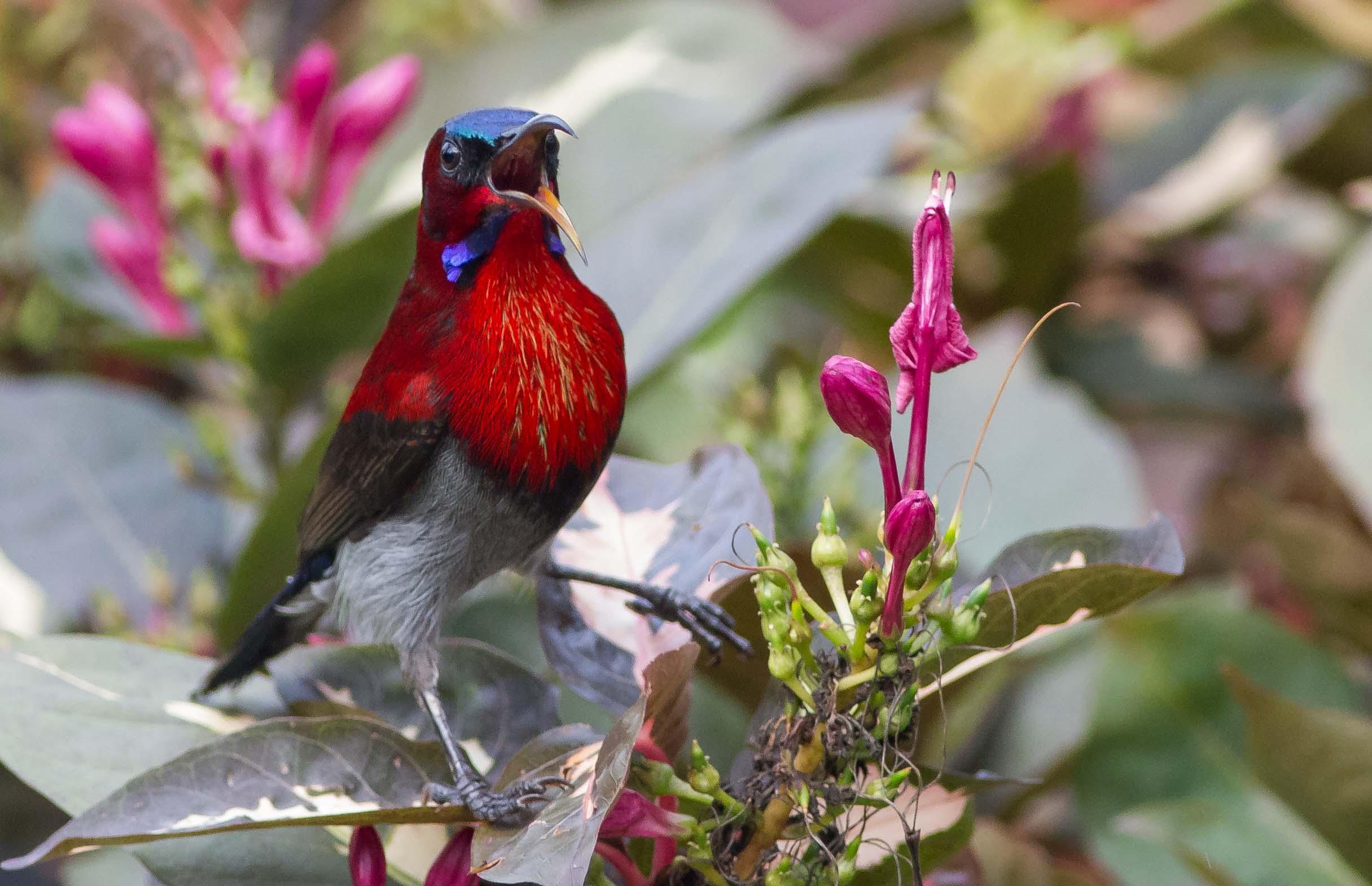 Crimson Sunbird Goa