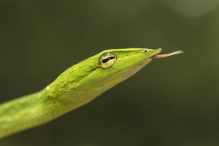 Vine snake Rahul Alvares