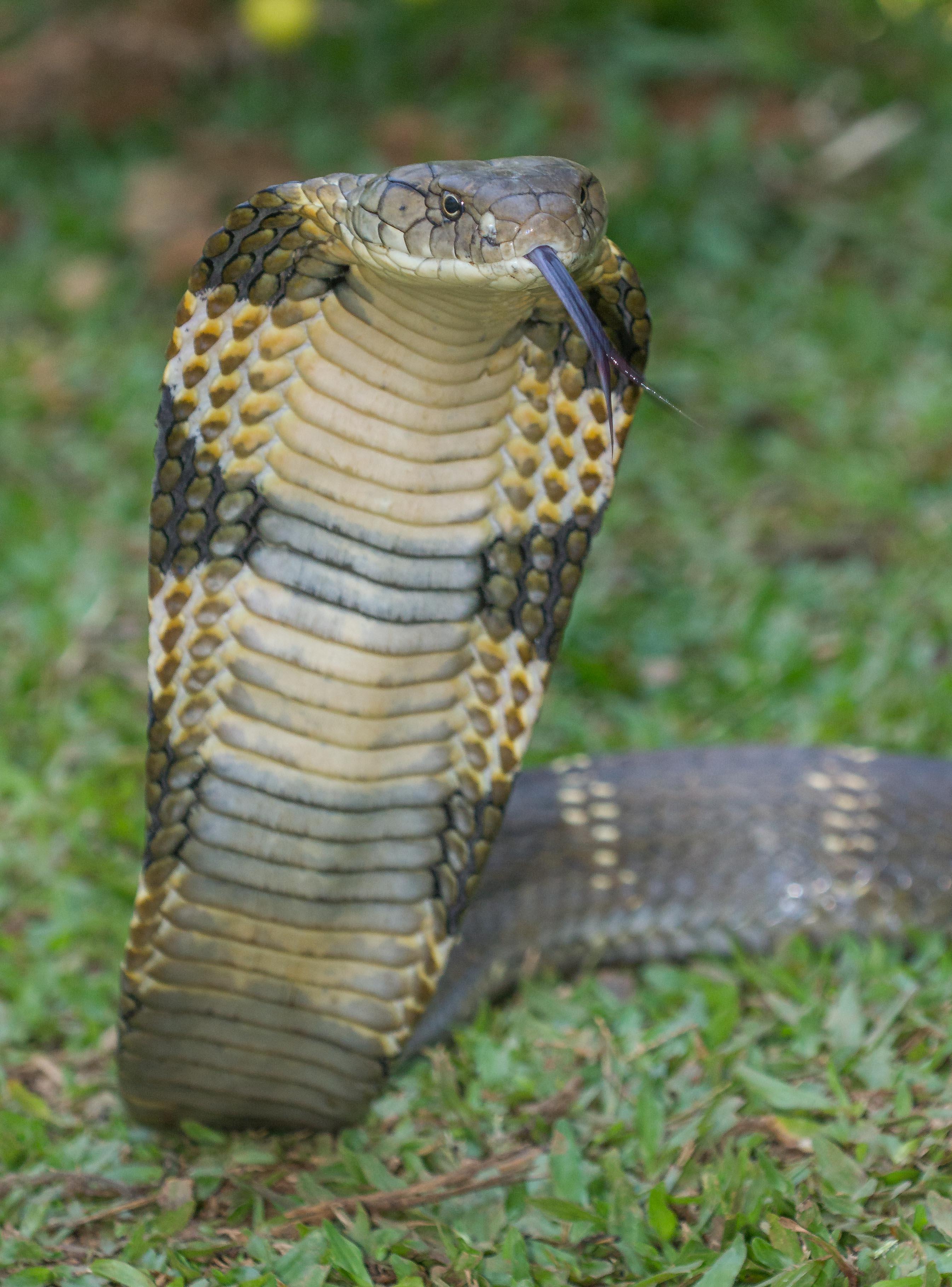 Giant king cobra snake