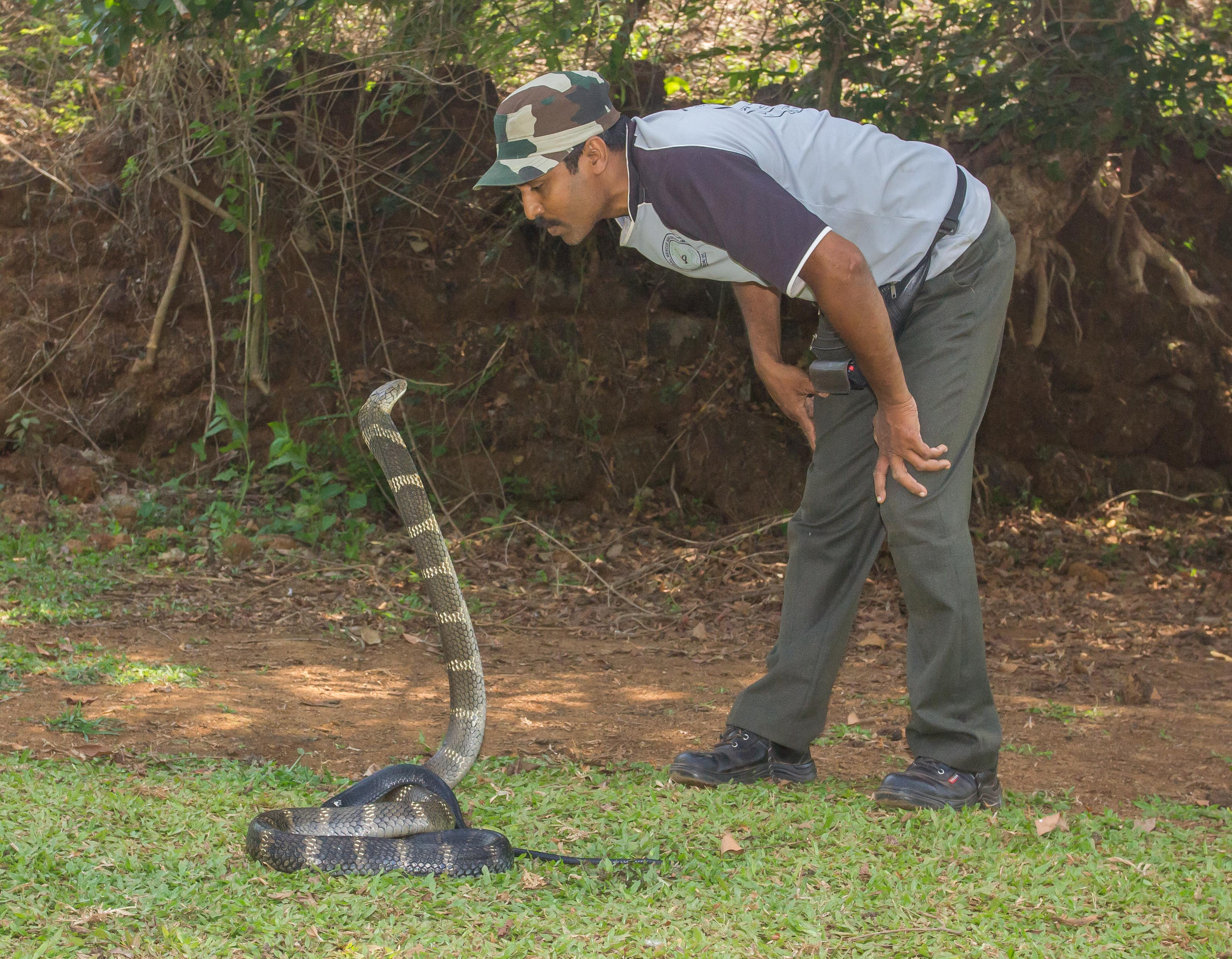 Giant Cobra King cobra western ghats goaGiant Cobra