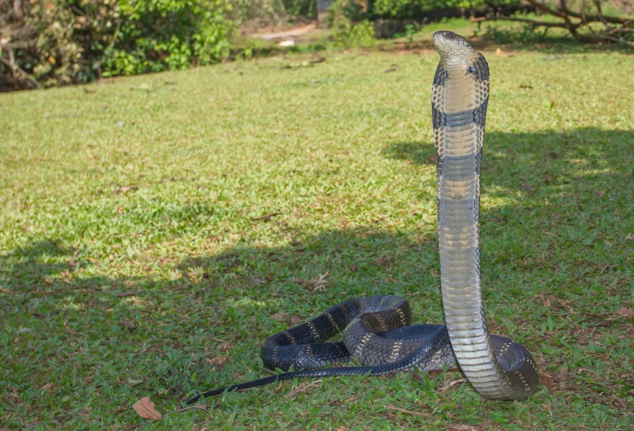 King Cobra Western Ghats Goa