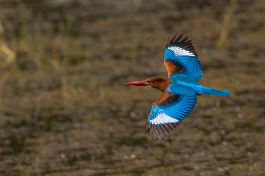 White Throated Kingfisher Goa
