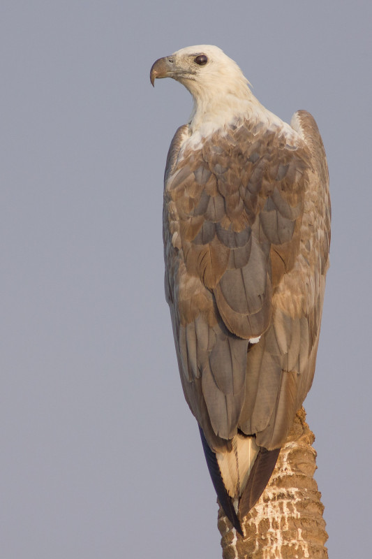White bellied sea eagle birdwatching in India