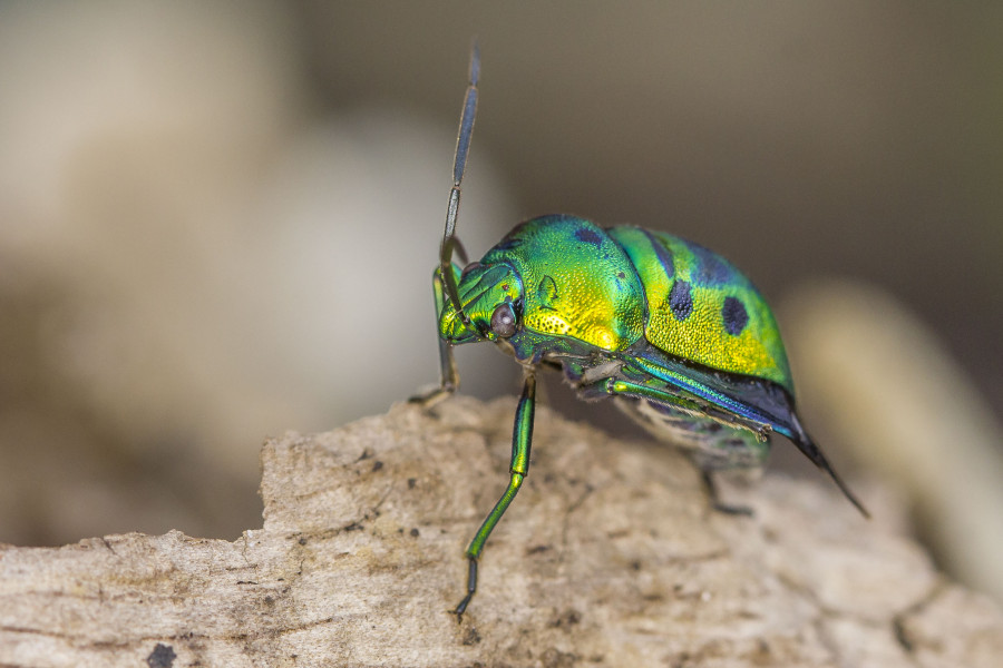 Jewel bug Goa wildlife