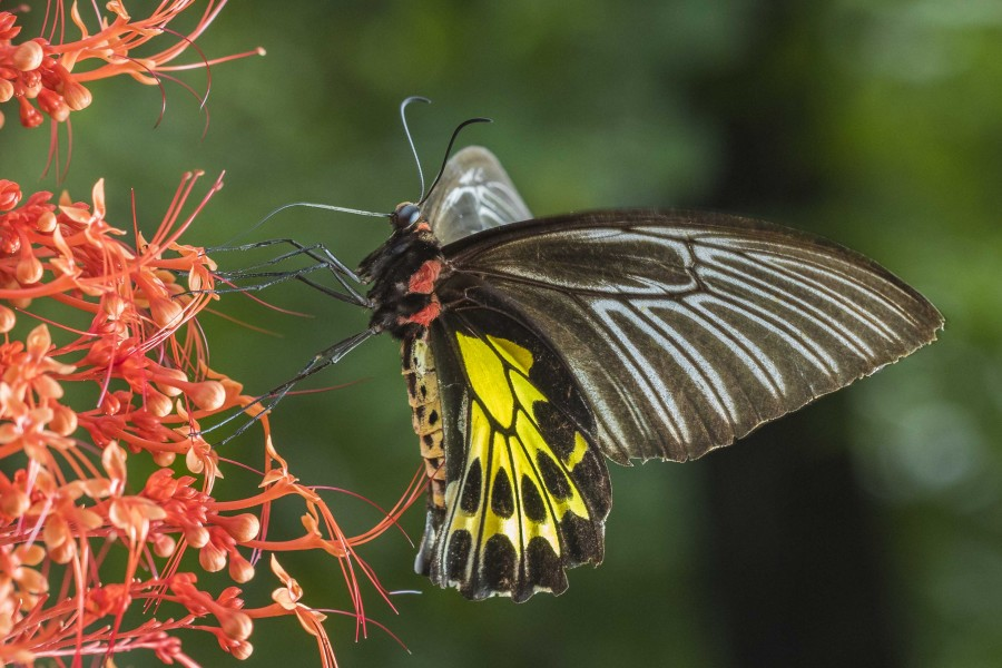 Southern Birdwing Rahul Alvares butterfly trips