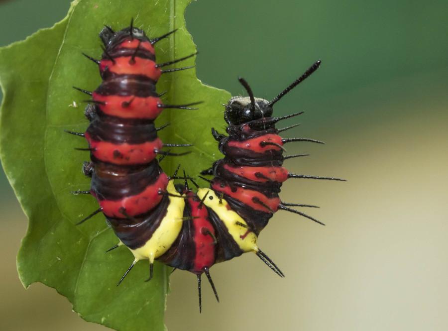 Tamil lacewing caterpillar Rahul Alvares