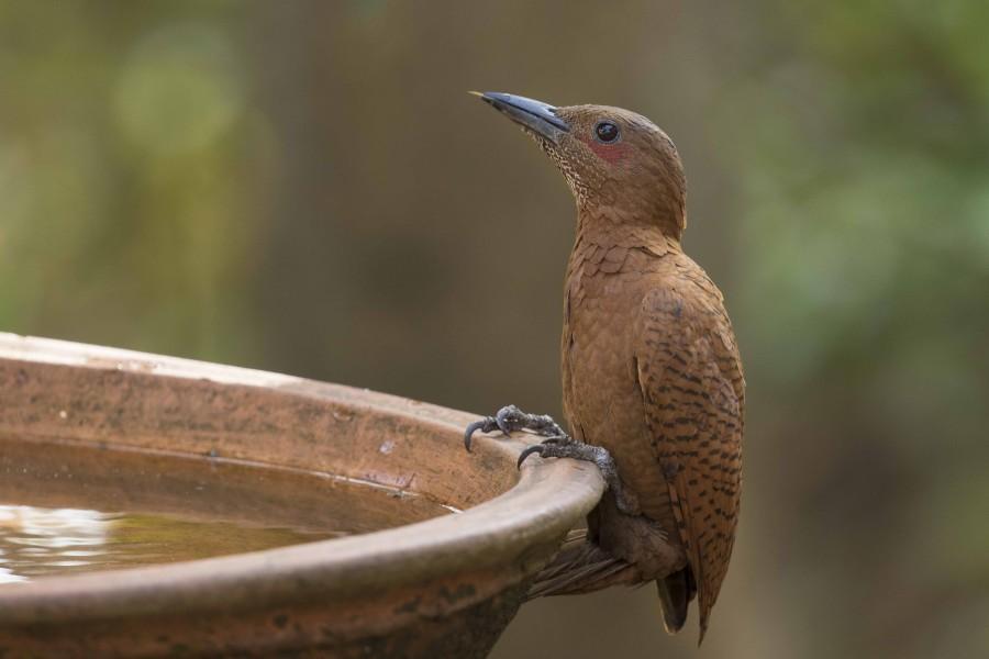 Rufous woodpecker Rahul Alvares