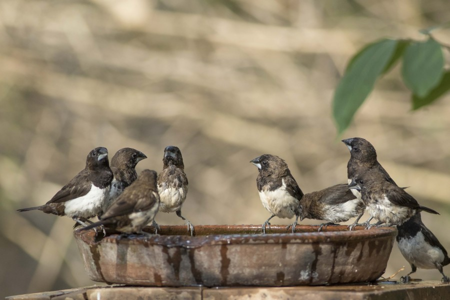 White rumped munia Rahul Alvares
