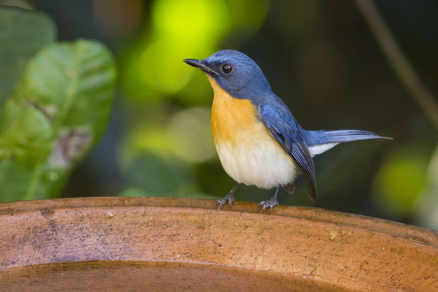 Ticket's blue flycatcher Rahul Alvares