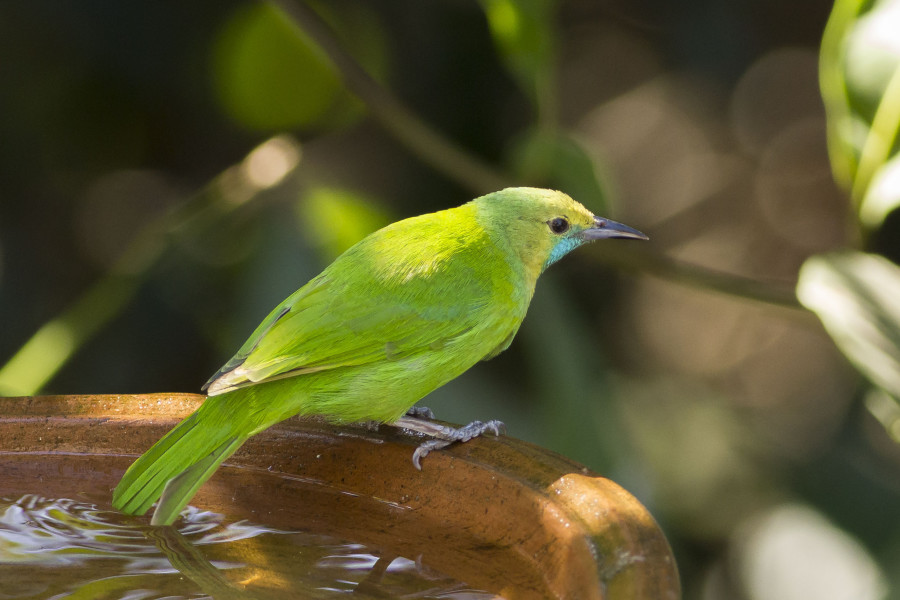 Jerdon's leafbird Rahul Alvares