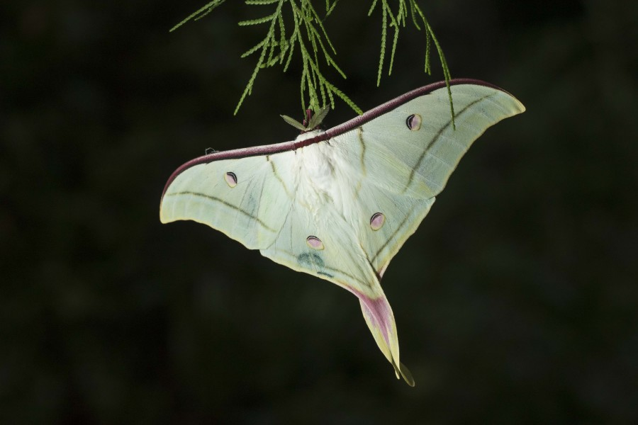 Indian moon moth Rahul Alvares