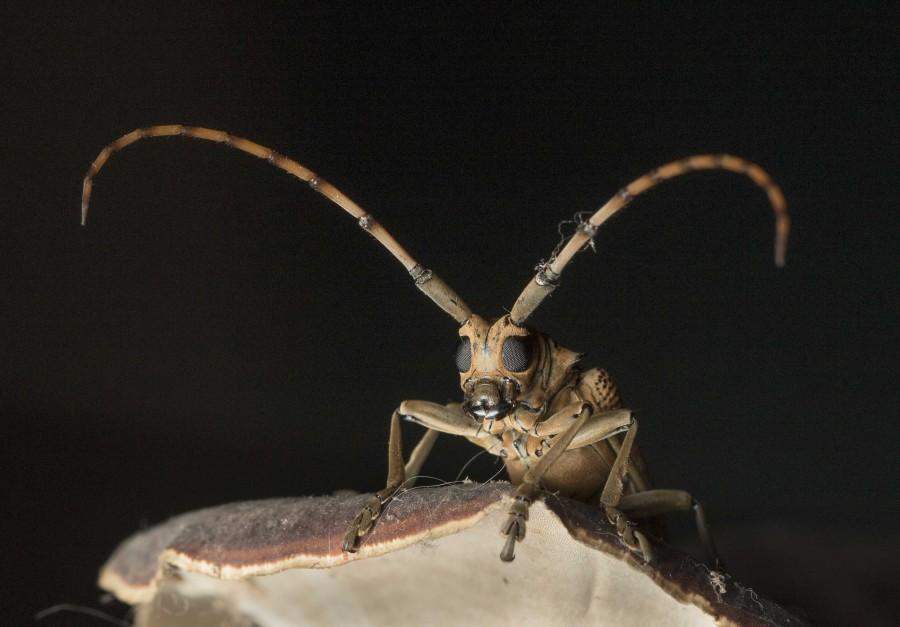 Longhorn beetle Rahul Alvares