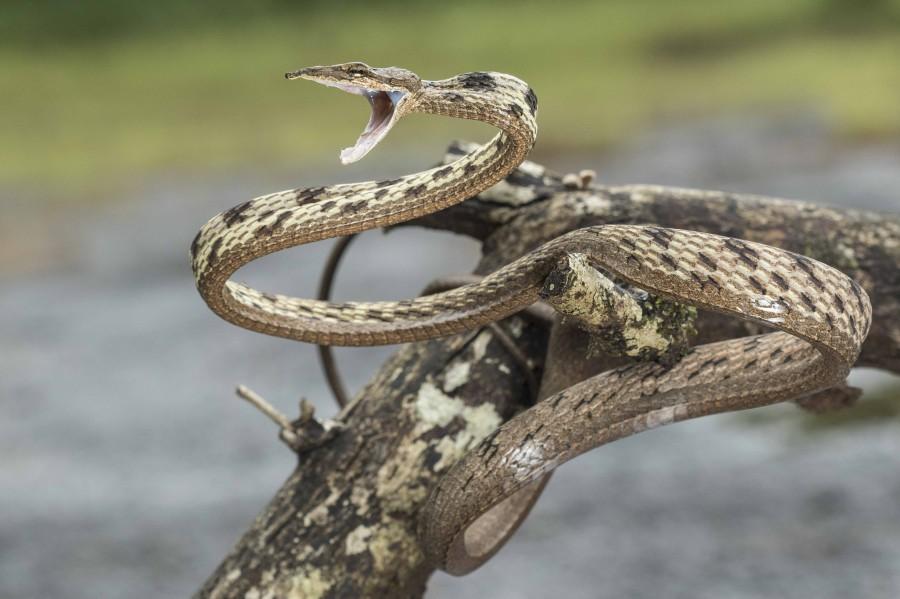 Brown Vine snake Rahul Alvares Goa
