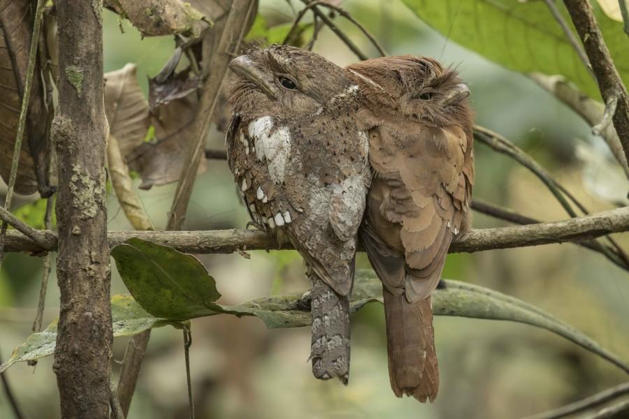Sri Lankan frogmouth Rahul Alvares