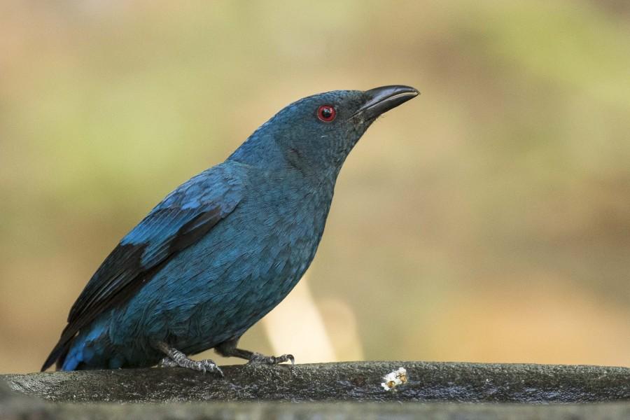 Asian fairy bluebird Rahul Alvares Goa