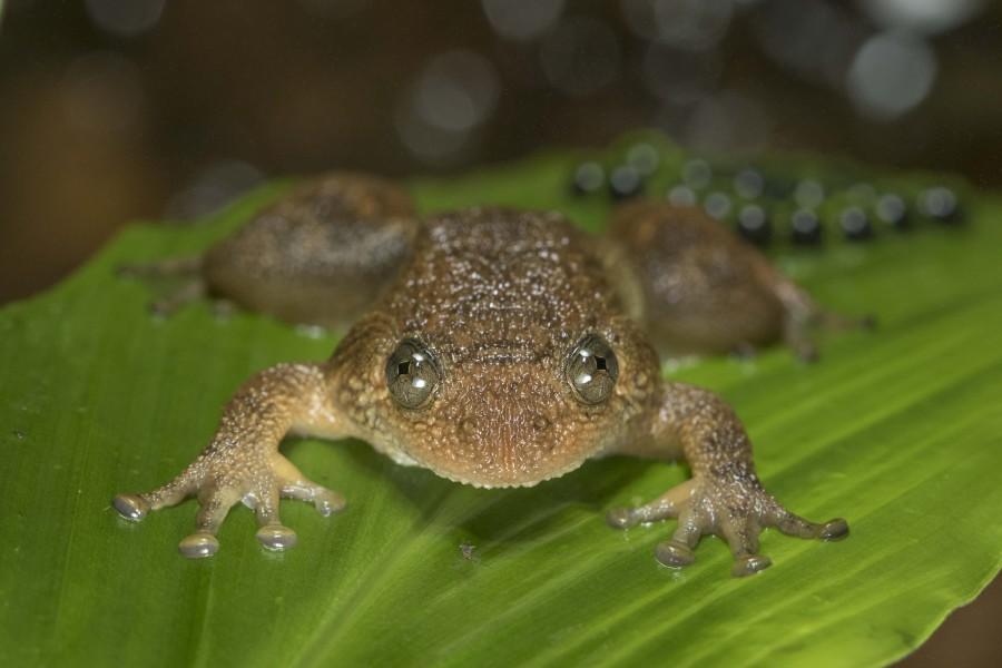 Wrinkled frog Rahul Alvares