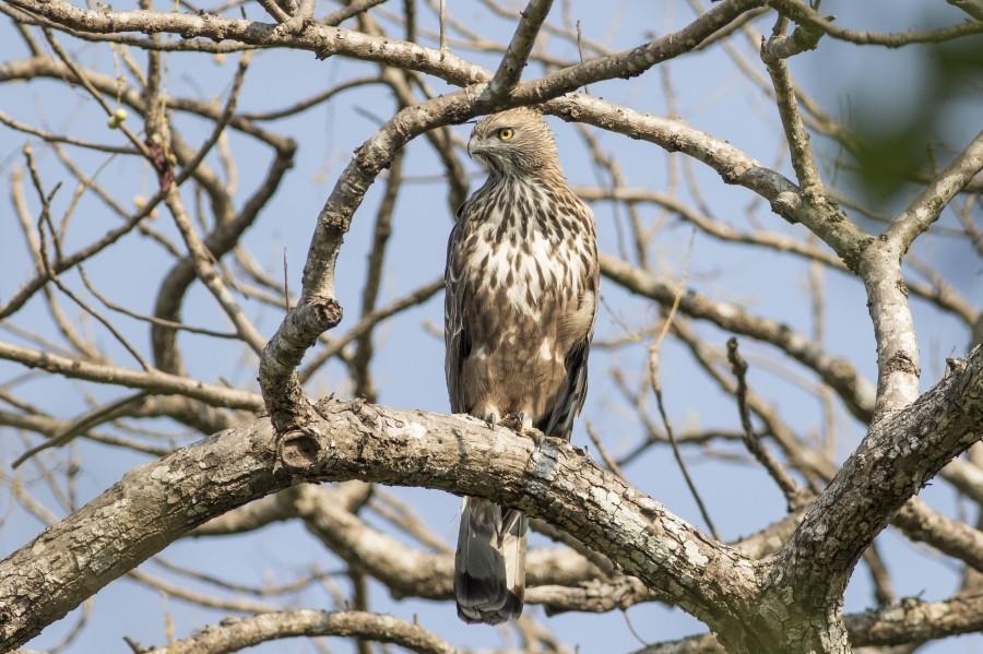 Crested hawk-eagle Rahul Alvares