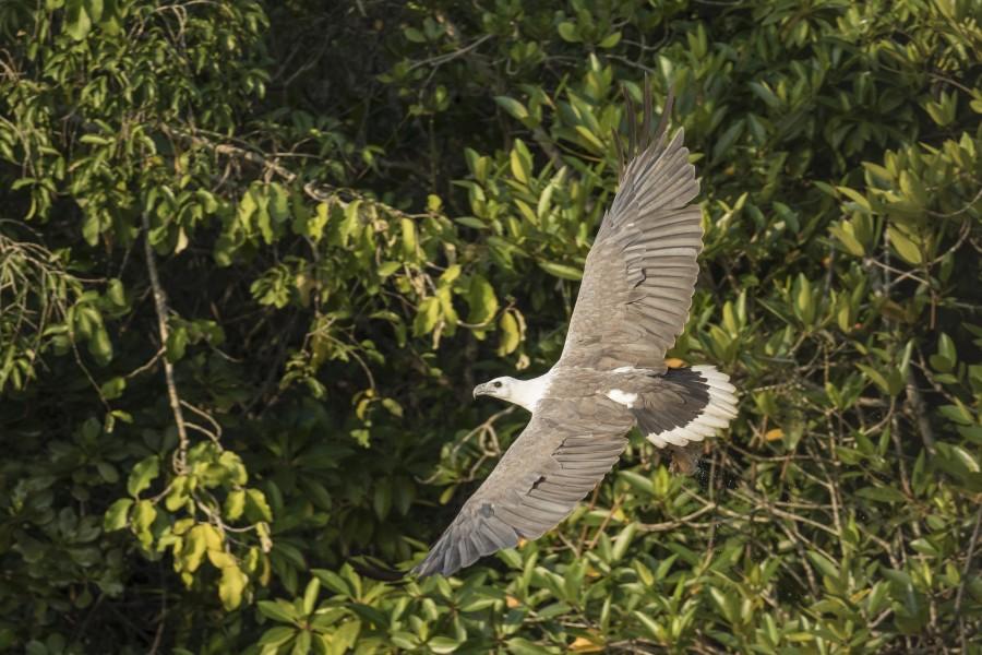 White bellied sea eagle Rahul Alvares