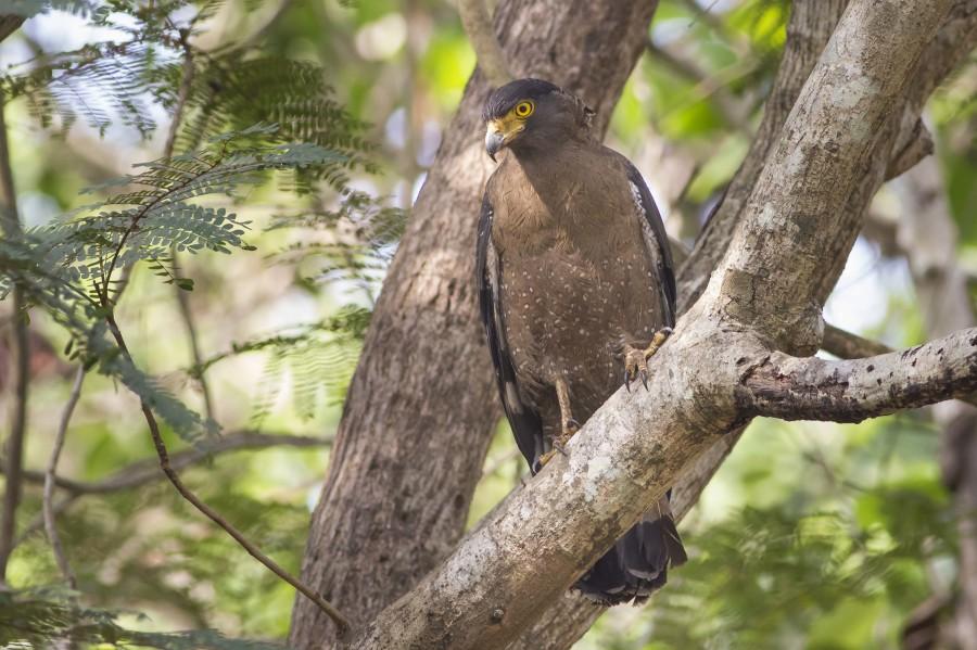 Crested serpent eagle Rahul Alvares