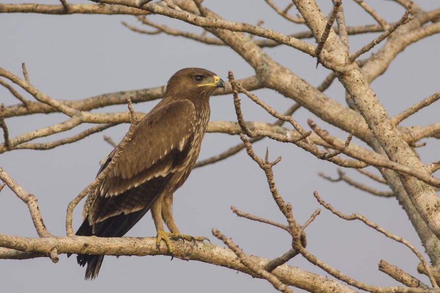 Spotted eagle Rahul Alvares