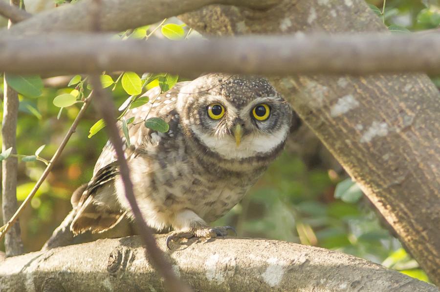 Spotted owlet Rahul Alvares