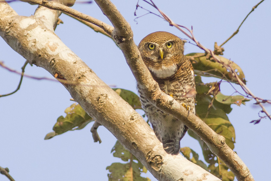 Jungle owlet Rahul Alvares