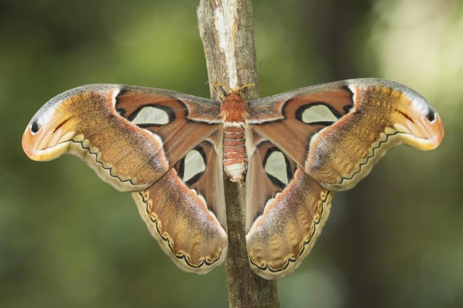 Atlas moth Rahul Alvares