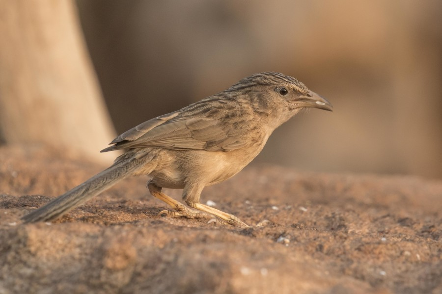 Common Babbler Rahul Alvares
