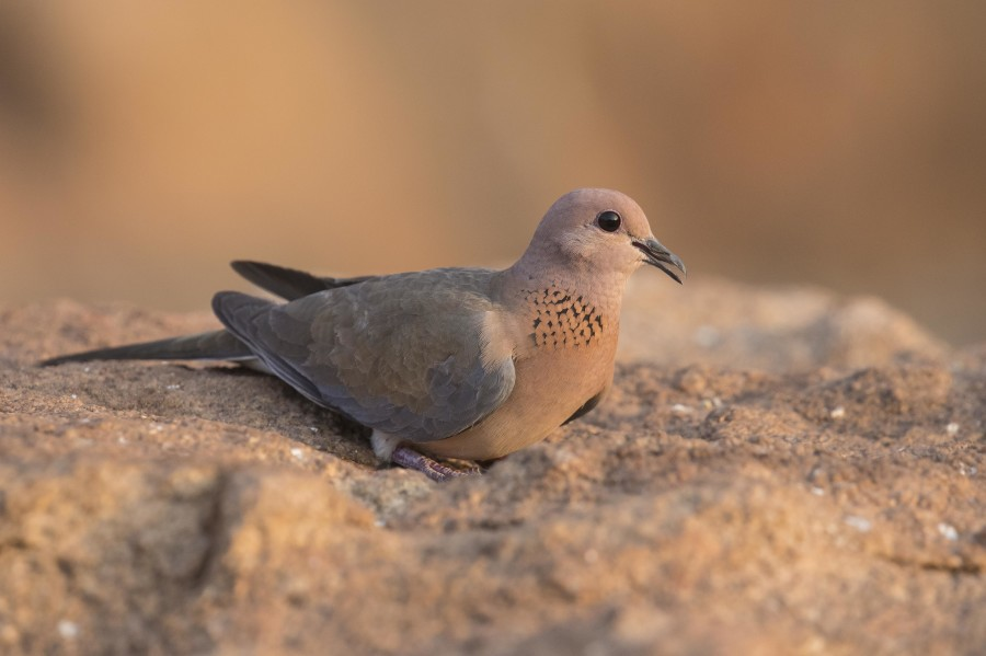 Laughing dove Rahul Alvares