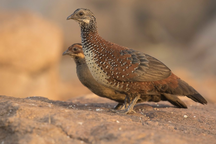 Painted Spurfowl Rahul Alvares